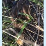 Птенец журавля-красавки