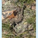 Ящерица в горах Уш тобе